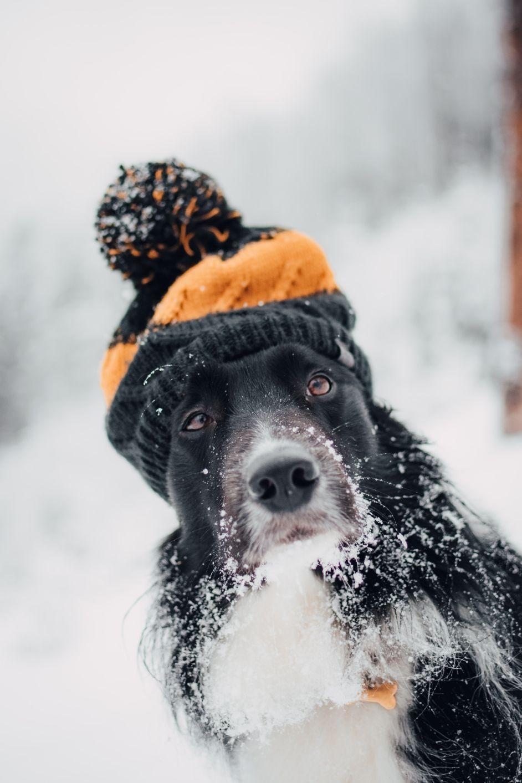 Pes a zima